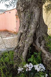 tratalias tree